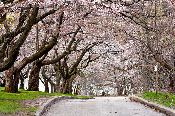 2015428 cherry blossoms high park 1